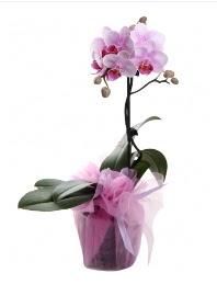 1 dal pembe orkide saksı çiçeği  çiçek siparişi Bursa nilüfer anneler günü çiçek yolla