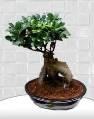 saksı çiçeği japon ağacı bonsai  çiçek siparişi Bursa nilüfer anneler günü çiçek yolla