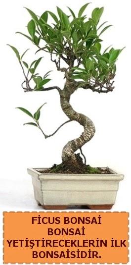 Ficus bonsai 15 ile 25 cm arasındadır  Bursa çiçek yolla nilüfer çiçek gönderme
