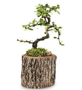 Doğal kütükte S bonsai ağacı  Bursaya çiçek yolla orhangazi çiçek satışı