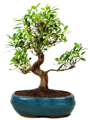 25 cm ile 30 cm aralığında Ficus S bonsai  çiçek siparişi Bursa karacabey çiçek yolla