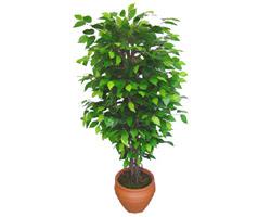 Ficus Benjamin 1,50 cm   Bursa osmangazi online çiçekçi , çiçek siparişi