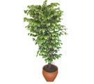 Ficus özel Starlight 1,75 cm   çiçekçiler Bursa online çiçek gönderme sipariş