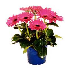 vazo içerisinde gerbera çiçekleri   Bursa ya çiçek yolla mudanya cicek , cicekci
