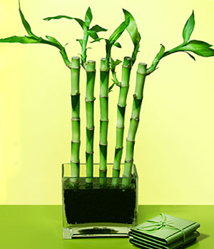Bursa osmangazi online çiçekçi , çiçek siparişi  Good Harmony Lucky Bamboo camda