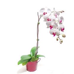Bursa çiçek nilüfer İnternetten çiçek siparişi  Saksida orkide