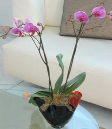 Bursa orhangazi internetten çiçek siparişi  tek dal ikili orkide saksi çiçegi