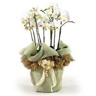 Bursa çiçek gönder nilüfer çiçek siparişi vermek  3 dal orkide , saksi çiçegi , 3 kök orkide