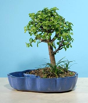 ithal bonsai saksi çiçegi  çiçek yolla Bursa orhaneli çiçekçiler