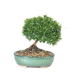 ithal bonsai saksi çiçegi  Bursa çiçek gönderimi nilüfer cicekciler , cicek siparisi