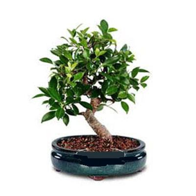 ithal bonsai saksi çiçegi  Bursa çiçek gönder nilüfer çiçek siparişi vermek
