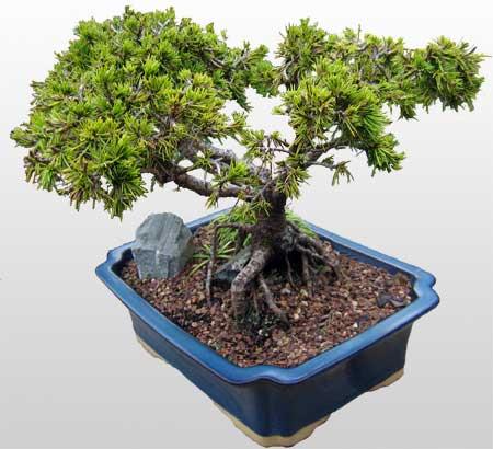 ithal bonsai saksi çiçegi  Bursa orhangazi internetten çiçek siparişi