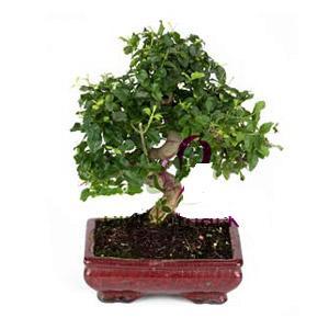 ithal bonsai saksi çiçegi  Bursa osmangazi online çiçekçi , çiçek siparişi