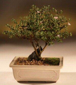 ithal bonsai saksi çiçegi  cicekci Bursa inegöl çiçek mağazası , çiçekçi adresleri