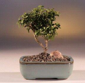 Bursa çiçek yolla nilüfer çiçek gönderme  ithal bonsai saksi çiçegi  Bursa osmangazi internetten çiçek satışı