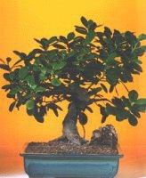 Bursa çiçekçi osman gazi çiçek gönderme sitemiz güvenlidir  ithal bonsai saksi çiçegi  Bursa inegöl kaliteli taze ve ucuz çiçekler