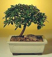 online Bursa ucuz çiçek gönder  ithal bonsai saksi çiçegi  çiçekçiler Bursa online çiçek gönderme sipariş