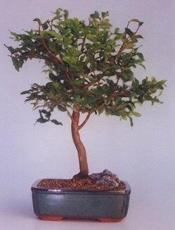 online Bursa ucuz çiçek gönder  ithal bonsai saksi çiçegi  Bursa osmangazi online çiçekçi , çiçek siparişi