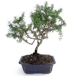 ithal bonsai saksi çiçegi  Bursa çiçekçi osman gazi çiçek gönderme sitemiz güvenlidir