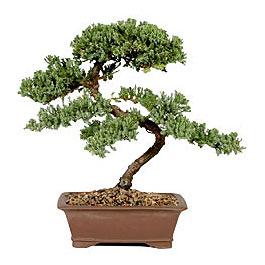 ithal bonsai saksi çiçegi  çiçek siparişi Bursa karacabey çiçek yolla