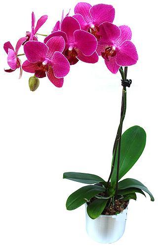 Bursa orhangazi internetten çiçek siparişi  saksi orkide çiçegi