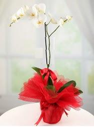 1 dal beyaz orkide saksı çiçeği  cicekciler Bursa gemlik güvenli kaliteli hızlı çiçek
