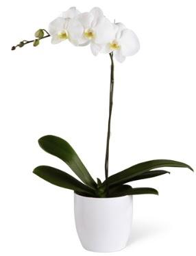 1 dallı beyaz orkide  Bursa çiçek siparişi karacabey 14 şubat sevgililer günü çiçek
