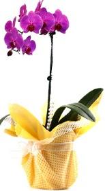 Bursa çiçek gönder nilüfer çiçek siparişi vermek  Tek dal mor orkide saksı çiçeği