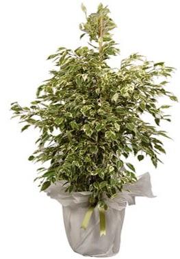 Orta boy alaca benjamin bitkisi  Bursa osmangazi internetten çiçek satışı
