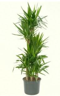 7 li yucca saksı bitkisi  çiçek siparişiBursa mustafa kemal paşa çiçek siparişi sitesi