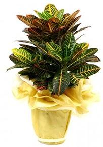 Orta boy kraton saksı çiçeği  Bursa çiçek siparişi karacabey 14 şubat sevgililer günü çiçek