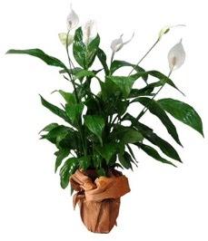 Orta boy barış çiçeği limon çiçeği  Bursa inegöl kaliteli taze ve ucuz çiçekler