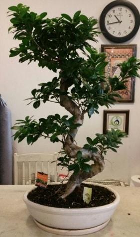 100 cm yüksekliğinde dev bonsai japon ağacı  Bursadaki çiçekçiler karacabey çiçekçi telefonları