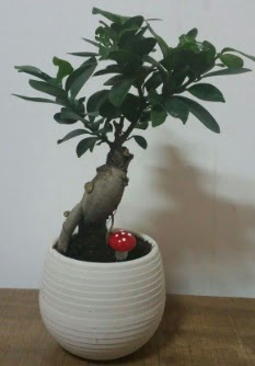 Bonsai japon ağacı saksı çiçeği  çiçek siparişi Bursa karacabey çiçek yolla