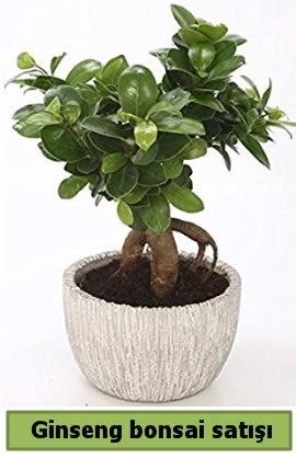 Ginseng bonsai japon ağacı satışı  Bursa çiçekçi osman gazi çiçek gönderme sitemiz güvenlidir