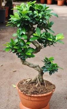 Orta boy bonsai saksı bitkisi  Bursa inegöl kaliteli taze ve ucuz çiçekler