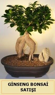 İthal Ginseng bonsai satışı japon ağacı  Bursa çiçek gönder nilüfer çiçek siparişi vermek