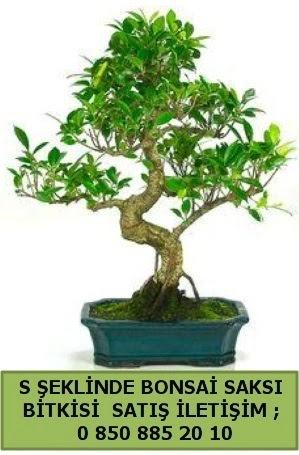 İthal S şeklinde dal eğriliği bonsai satışı  Bursa çiçek nilüfer İnternetten çiçek siparişi