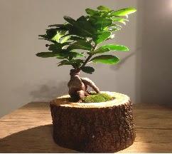 Doğal kütükte Bonsai japon ağacı satışı  Bursa osmangazi internetten çiçek satışı
