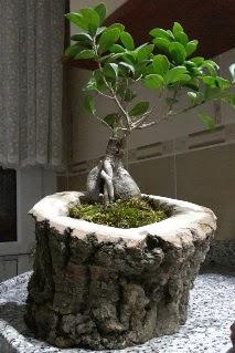 Ahşap kütük içerisinde ginseng bonsai  Bursa inegöl kaliteli taze ve ucuz çiçekler