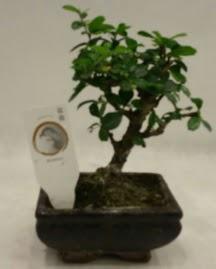 Küçük minyatür bonsai japon ağacı  Bursa çiçek nilüfer İnternetten çiçek siparişi