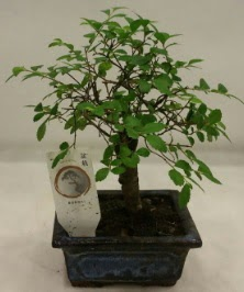 Minyatür ithal japon ağacı bonsai bitkisi  Bursaya çiçek yolla orhangazi çiçek satışı