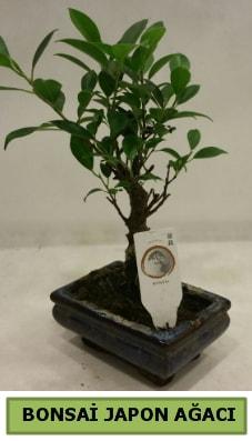 Bonsai japon ağacı saksı bitkisi  çiçek siparişiBursa mustafa kemal paşa çiçek siparişi sitesi