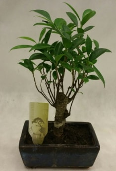 Japon ağacı bonsai bitkisi satışı  Bursa çiçekçi osman gazi çiçek gönderme sitemiz güvenlidir