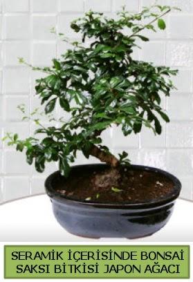 Seramik vazoda bonsai japon ağacı bitkisi  Bursa çiçek gönder nilüfer çiçek siparişi vermek