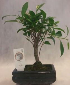 Bonsai japon ağacı bitkisi satışı  çiçek siparişi Bursa karacabey çiçek yolla