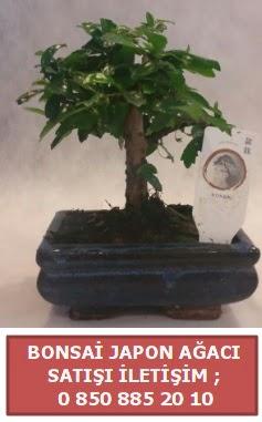 Japon ağacı minyaür bonsai satışı  Bursaya çiçek yolla orhangazi çiçek satışı