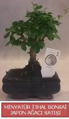 Küçük görsel bonsai japon ağacı bitkisi  Bursada çiçekçi osmangazi çiçek , çiçekçi , çiçekçilik