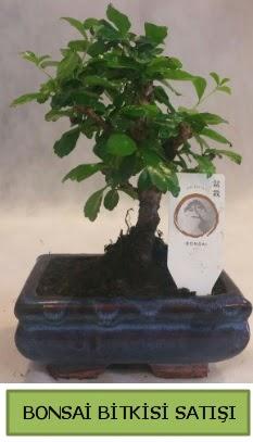 Bonsai ithal görsel minyatür japon ağacı  online Bursa ucuz çiçek gönder