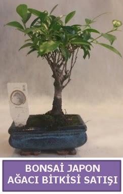 İthal Bonsai japon ağacı bitkisi satışı  Bursadaki çiçekçiler karacabey çiçekçi telefonları